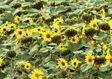 Агроновини. Аграрії втратили на соняшнику майже 2,5 млрд грн