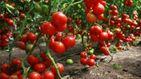 Тонни українських помідорів гниють на полях