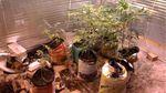 Українські умільці-садівники вирощували в теплиці марихуану