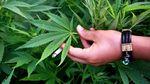 Поліція на Київщині викрила величезну теплицю з марихуаною