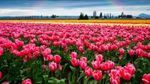 Долина тюльпанів розквітла на Буковині: з'явилось відео