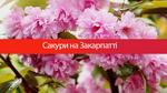 Серед відтінків рожевого: цікаві факти про сакури на Закарпатті