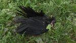 На Київщині комунальники вбили сотні птахів на очах у дітей