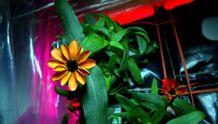 Фотофакт: в космосе расцвел первый в истории цветок