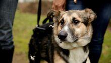 Трогательная история: пес, которому отрезали лапы, учится ходить заново