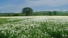 Весняне диво: на Закарпатті передчасно зацвіла долина нарцисів
