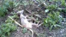 """На Буковине селяне поймали неизвестное существо, убеждают — """"чупакабра"""""""