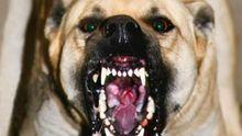 Трагический инцидент в Киеве. Бойцовская собака отгрызла женщине пол руки