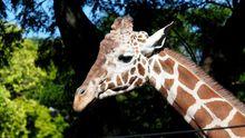 """С журналисткой """"заигрывал"""" молодой жираф: смешное видео"""