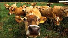 Украина рискует полностью потерять молочную отрасль