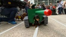 В костюмах оленів, принцес і танків: незвичні змагання такс в Австралії