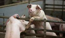 Свиная чума вспыхнула в нескольких областях Украины