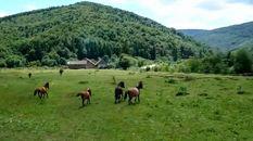 Как легендарная порода гуцульского коня покорила Карпаты