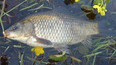 На Тернопольщине массово отравили рыбу