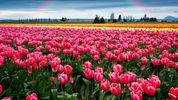 Долина тюльпанов расцвела на Буковине: появилось видео