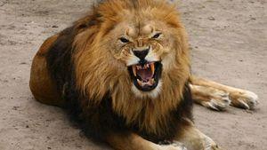 Лев разорвал двух мужчин во Львовской области