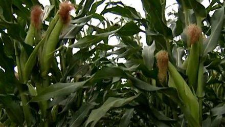 Украинские аграрии совершенствуют работу выращивая гибриды кукурузы