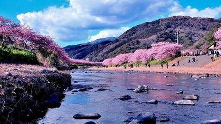В Японии внезапно зацвела сакура: живописные фото