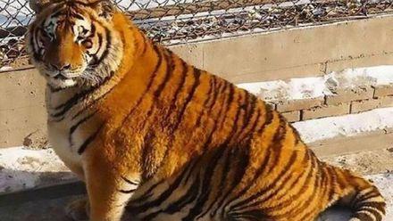 Китайці знайшли цікавий спосіб порятунку тигрів від ожиріння