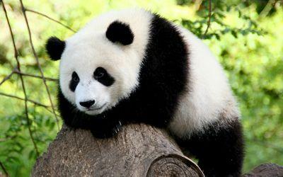 Видеоролик про надоедливую панду собрал безумное количество просмотров