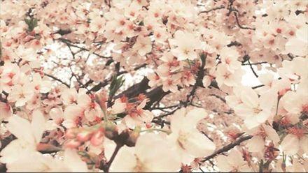 В Японии расцвели сакуры: удивительные фото