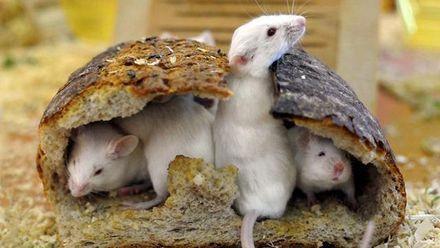 У мережі показали бійку щурів за шматок їжі: відео