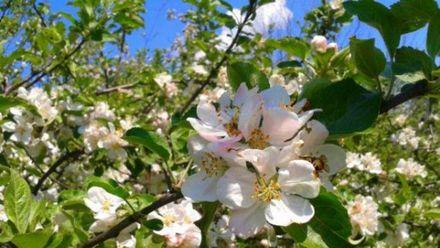 Унікальна яблуня зацвіла на Сумщині: з'явилось відео