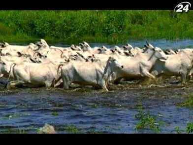 Робочі будні американського пастуха на найбільшій у світі території боліт