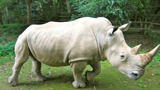 Популяцию носорогов хотят увеличить с помощью онлайн-знакомств