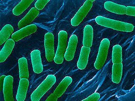 В Польше выявили первый случай заражения бактерией E.coli