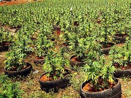 Місце для вирощування коноплі тримають в таємниці