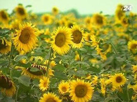 Площа під соняшники займатиме 11-13%