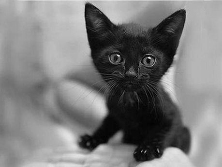 Чорне кошеня