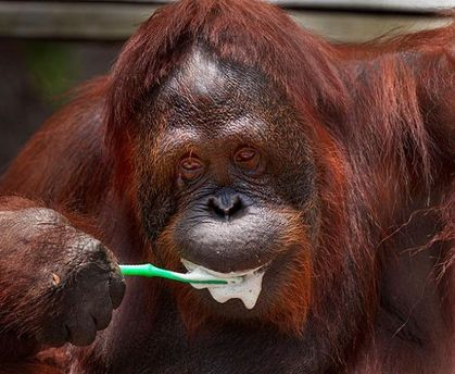 Орангутанг чистить зуби