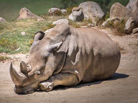 Носорог Ангалифу