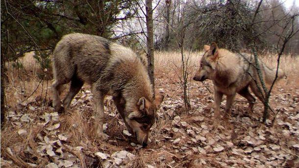 Як відновилася природа в Чорнобилі: вражаючі факти