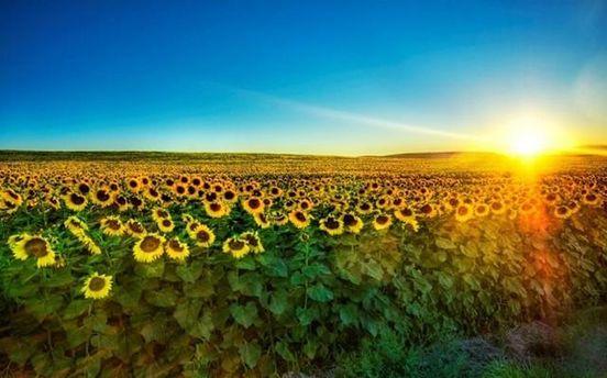 Урожай соняшнику