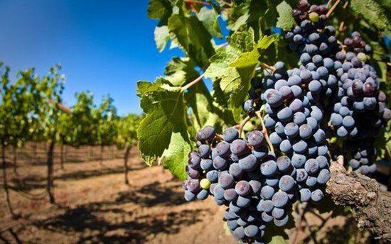 Виноград у Криму
