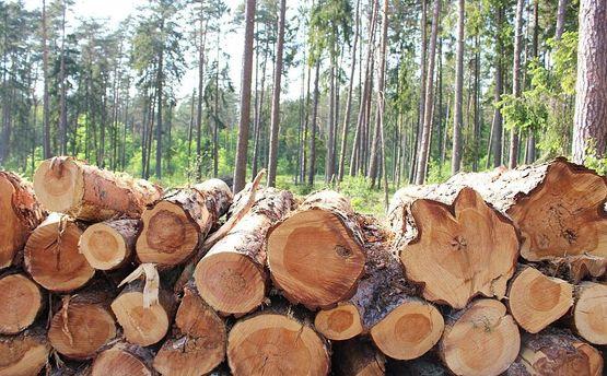 Лес вырубают бешеными темпами