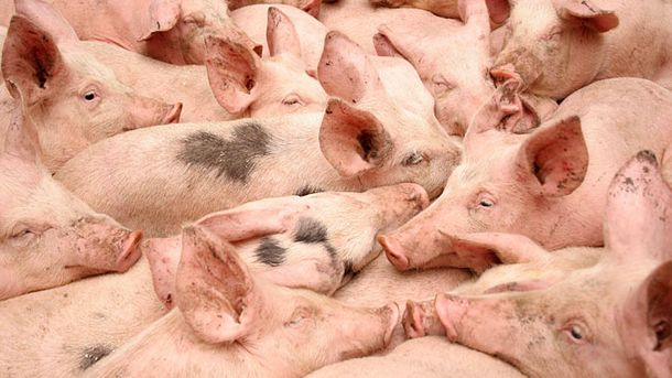 У Молдові остерігаються африканської чуми свиней