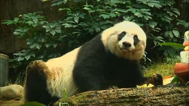 Померла найстаріша панда усвіті