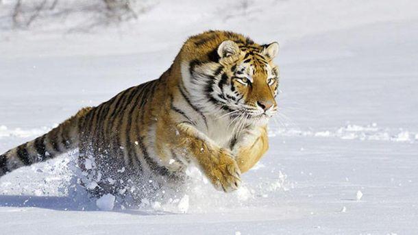 По улицам российского города бродит амурский тигр