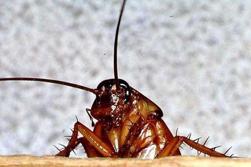 Ученые выявили назначение тараканов наЗемле