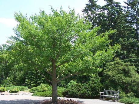 Гинкго      garden
