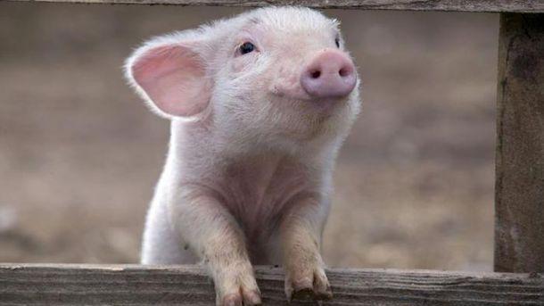 В 6-ти областях Украинского государства зафиксирована чума свиней