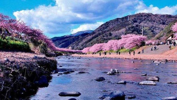 ВЯпонии зацвела сакура— практически весна
