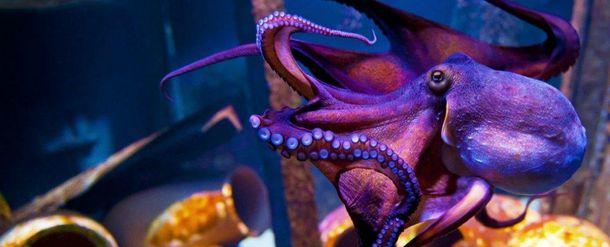 Осьминоги используют жала медуз как оружие