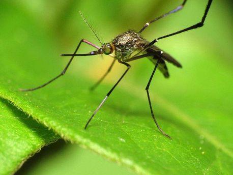 «Эстонские» комары непьют кровь