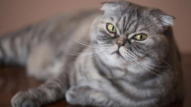 ВАнглии призвали неразводить вислоухих кошек