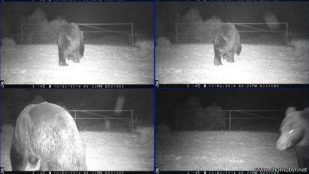 Ведмідь у Чорнобилі